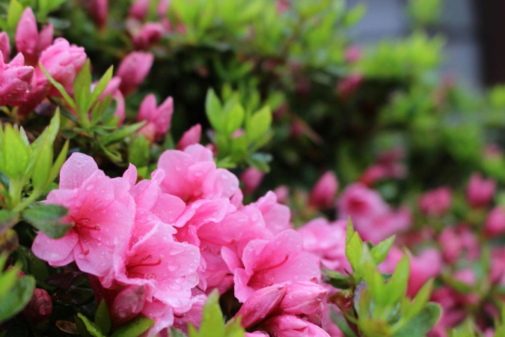長久手の花「さつき」